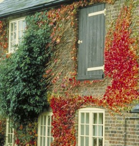 Damage to house walls caused by Climbing plants