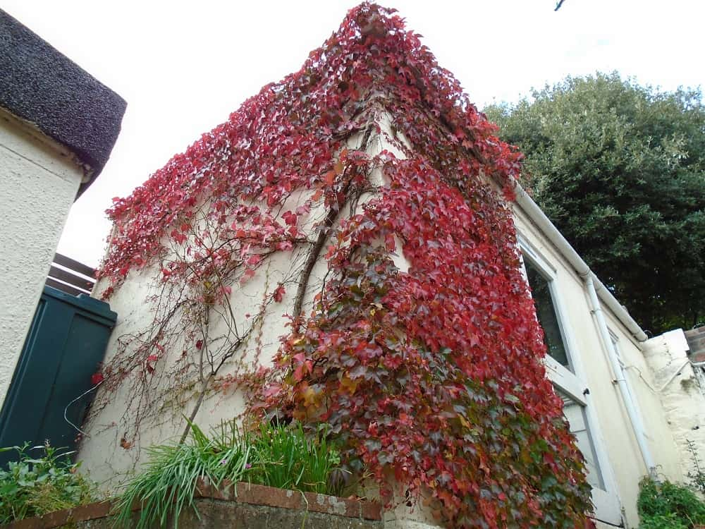 Do Climbing Plants Like Ivy Damage Walls Never Paint