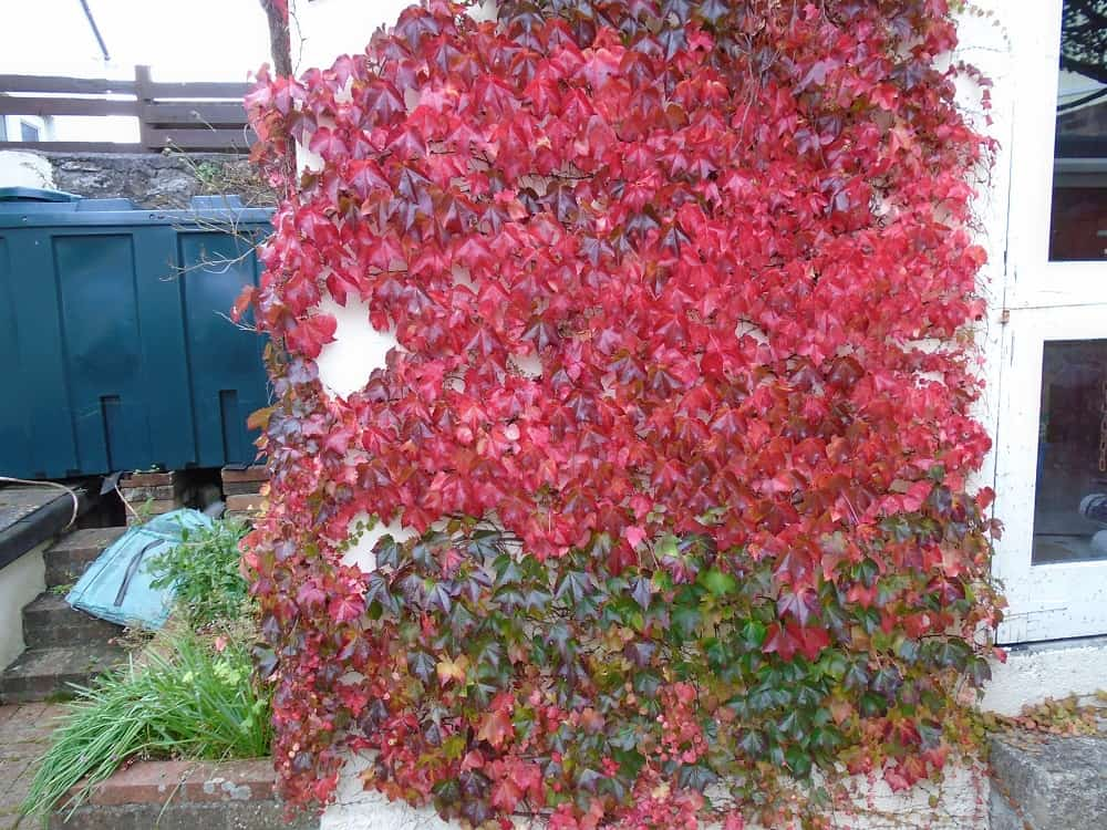 Do climbing plants like ivy damage walls never paint What do we call a picture painted on a wall